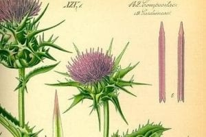 How does milk thistle work to heal the liver?