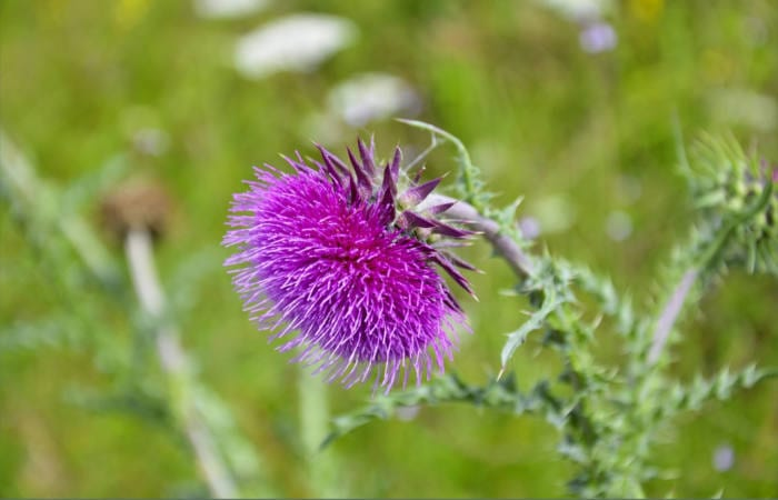 Milk Thistle Protects Liver