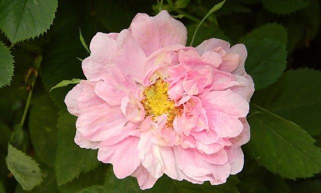 Rose hip blossom