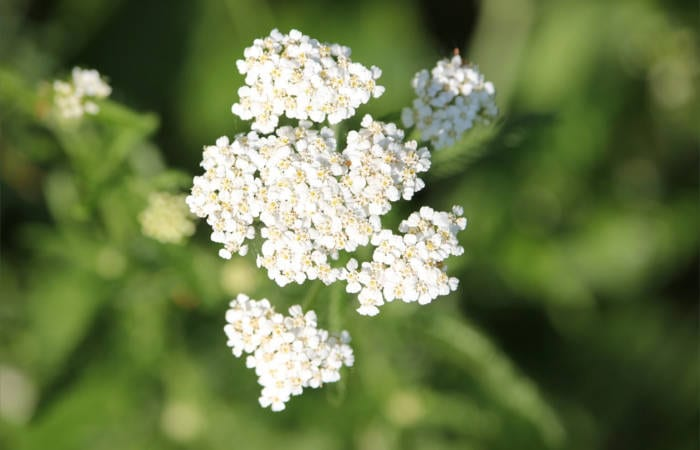 yarrow plant uses