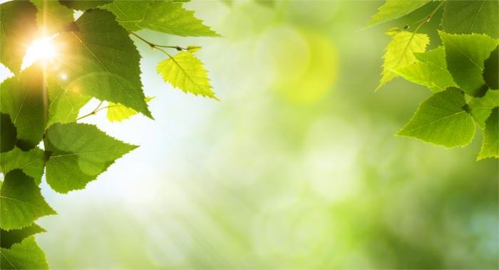Birch Leaves - Healthy Hildegard