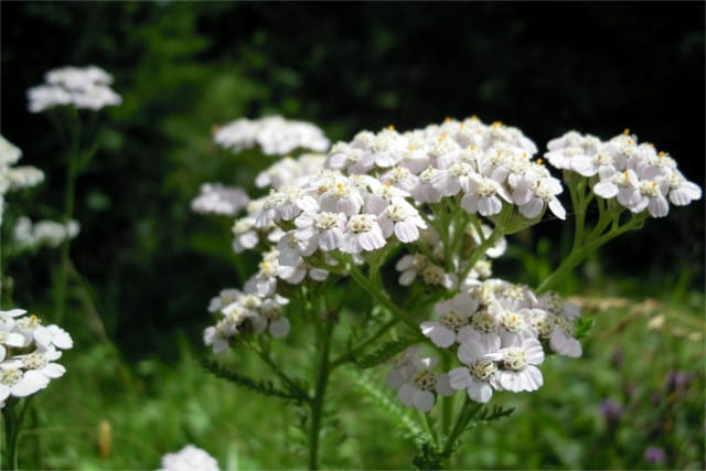 The medicinal origin of yarrow plant uses can be traced back to the ancient Greeks.