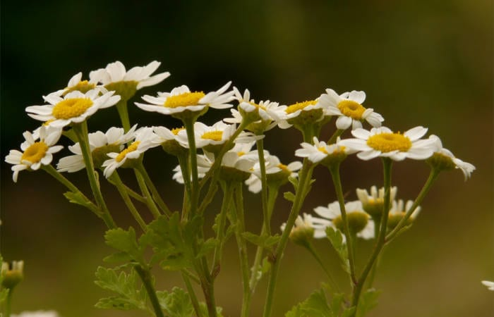 Feverfew benefits