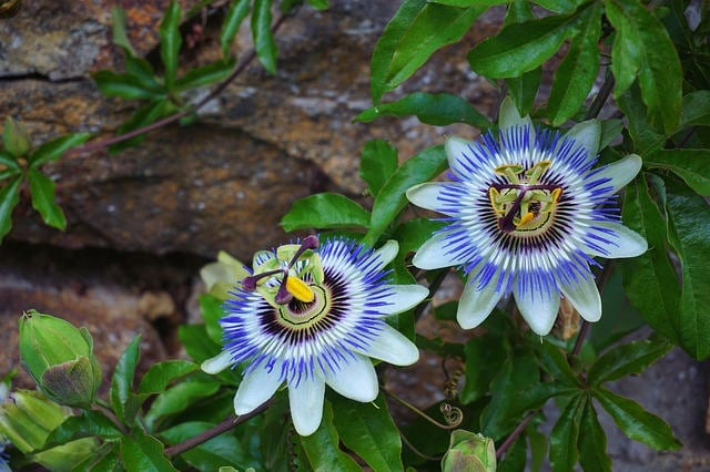 Ancient Passion Flower Benefits Healthy Hildegard