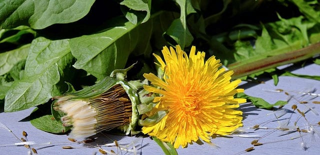 dandelion health benefits
