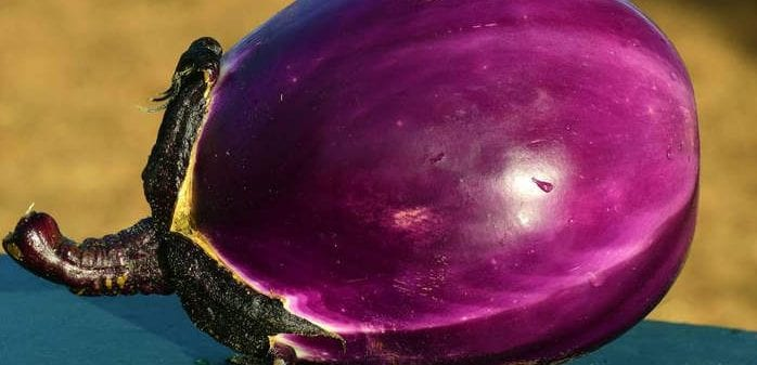 Eggplants are a bitter nightshade - Healthy Hildegard