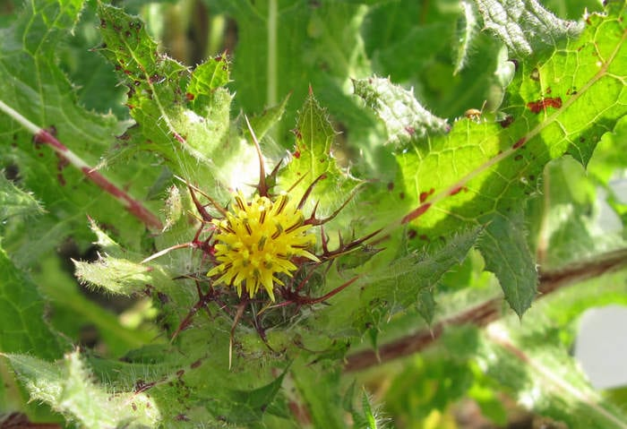 Blessed Thistle (Cnicus)