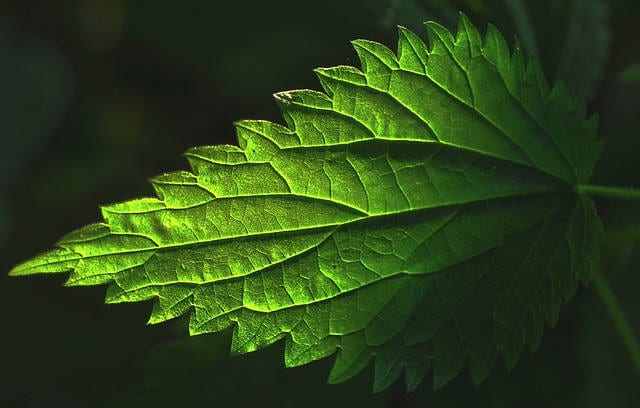 stinging nettle recipes