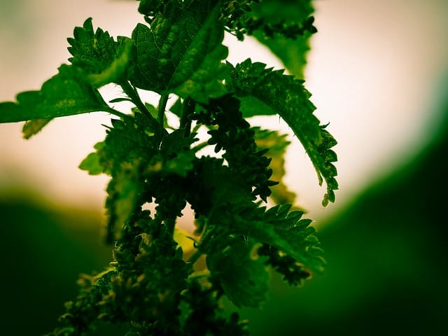 20 things about hildegard von bingen stinging nettle