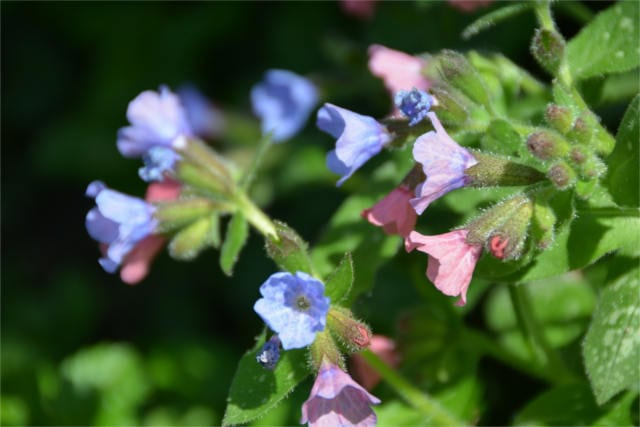 doctrine of signatures Lungwort
