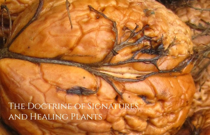 doctrine of signatures and healing plants