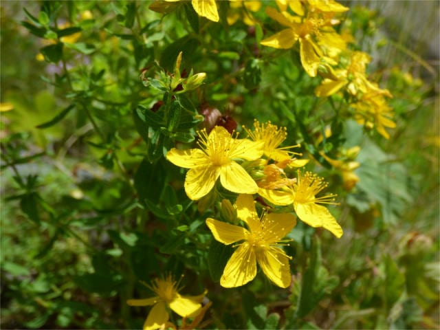 doctrine of signatures st-johns-wort