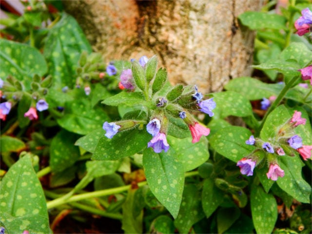 lungwort healing plant