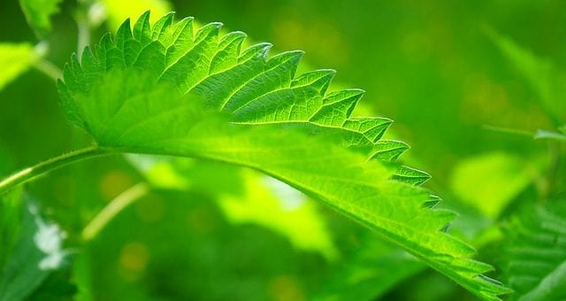 stinging nettle naturopathic remedies