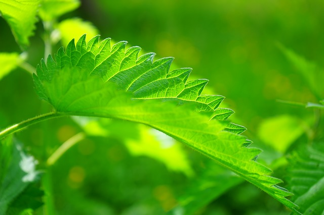 stinging nettle remedies