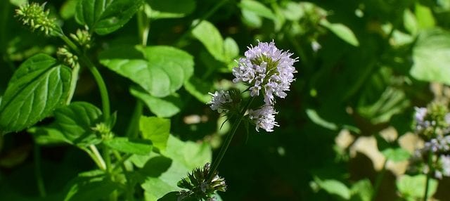 Peppermint Pennyroyal Mentha pulegium health benefits