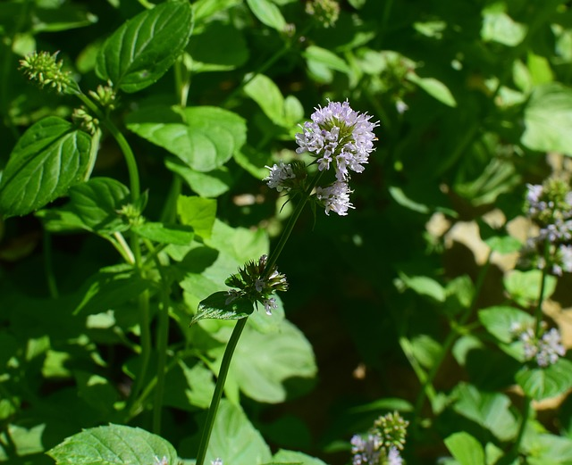 Peppermint Pennyroyal (Mentha pulegium health benefits