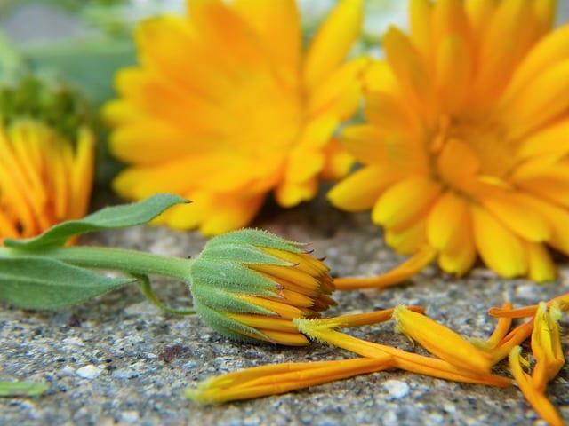 marigold cream and marigold uses
