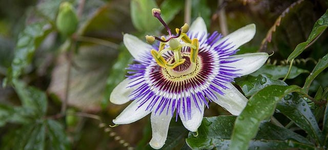 natural remedy for anxiety and stress passion flower
