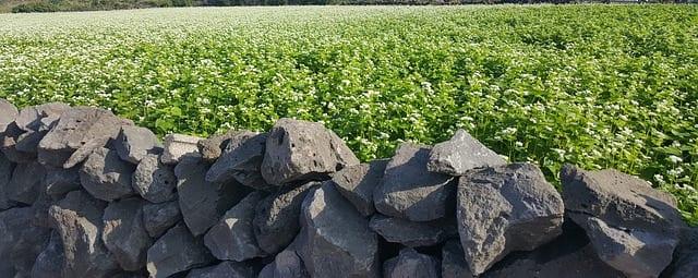 Buckwheat for health