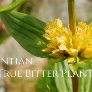 Gentian Root Health Benefits and Uses