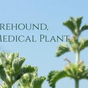 What is Horehound?