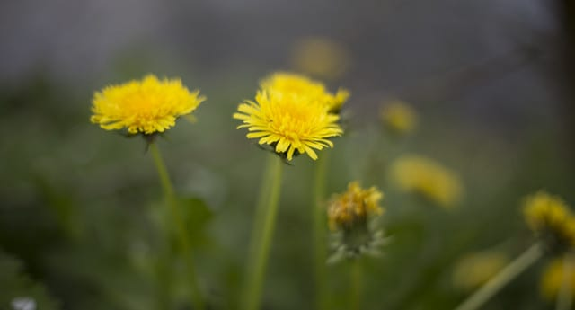 Dandelions, a natural bitter