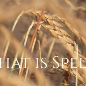 What is Spelt? An Alternative to Wheat