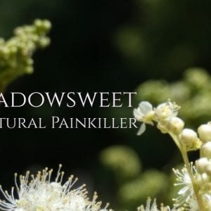 Meadowsweet Herb, A Natural Painkiller