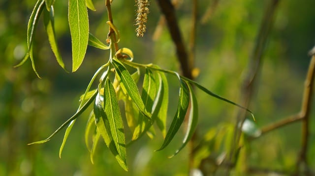 Willow bark benefits various health conditions