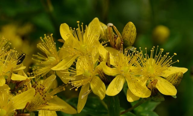 St. John' s Wort for Depression and Anxiety