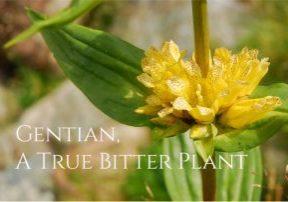 Health Benefits of Gentian Roots