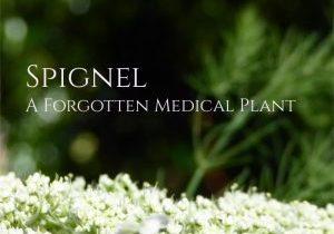 Spignel Meum Athamanticum plant